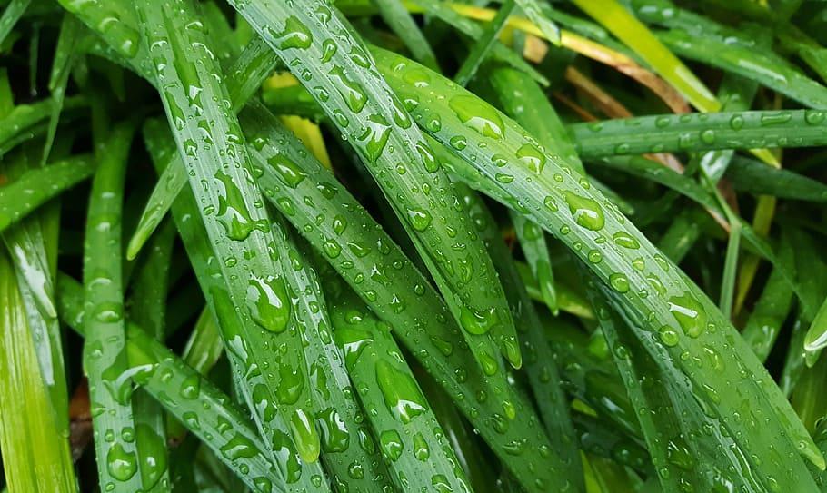 hojas mojadas siropestilistas